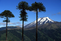 Lonquimay Volcano and Auraucaria trees in Chile