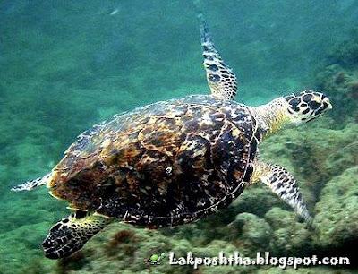 لاک پشت عقابی -  Hawksbill Sea Turtle ( Eretmochelys imbricata )