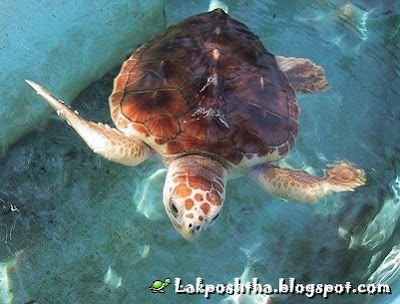 - Red Sea Turtle ( Caretta caretta )