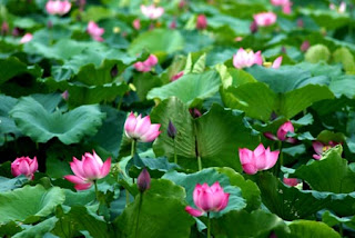 Lotus bloom in West lake