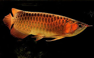 Arowana- Yen Phu ornamental fish village- the beautyful sight in Hanoi