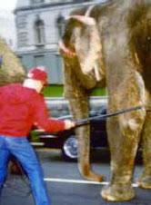 A circus elephant parade