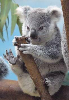 Enb150 cute baby koala bear but not really bear - Pics of baby koalas ...