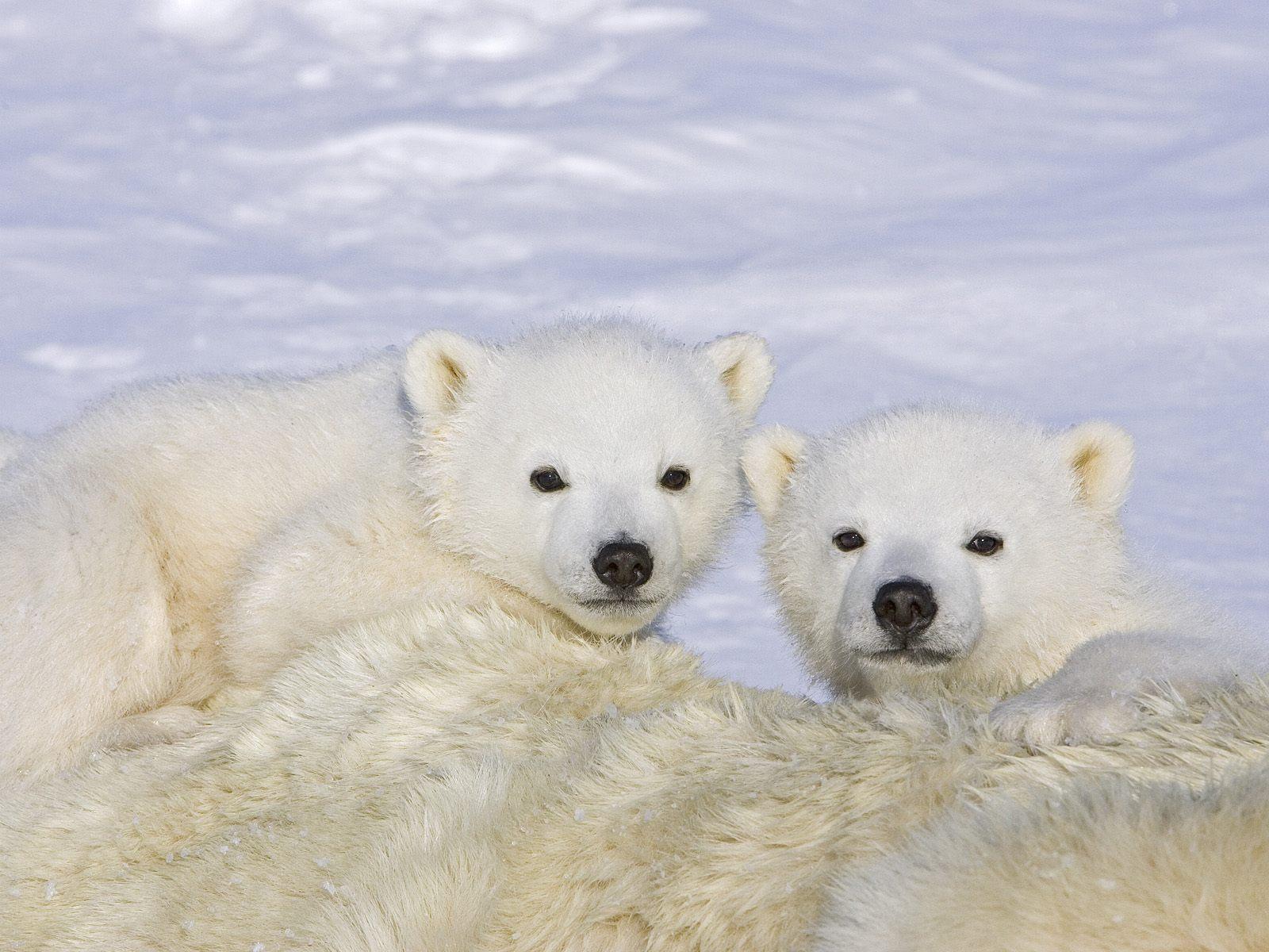 JONAH WOLF: Cute Polar Bear Babies Cuddling in the snow!