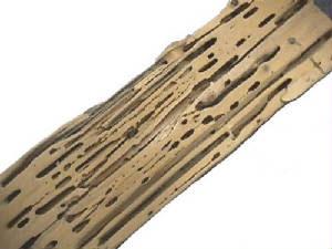 Carpenter Ant Vs Termite Damage