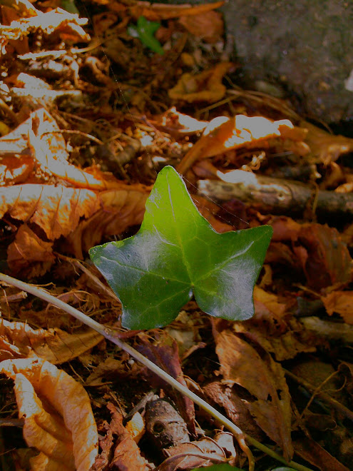 SINGLE IVY LEAF WITH DEAD LEAVES