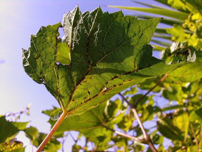 VINE LEAF IN OCTOBER
