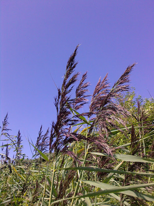 PLUMES OF PURPLE GRASS