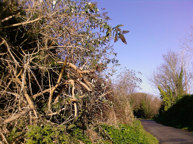 BUDDLEIA OVER PATH