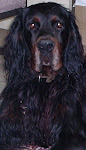 Golly the Gordon Setter