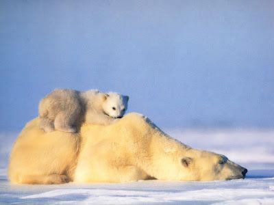 Ursi polari imagini pui de ursi polari peisaje de iarna for Immagini per desktop inverno