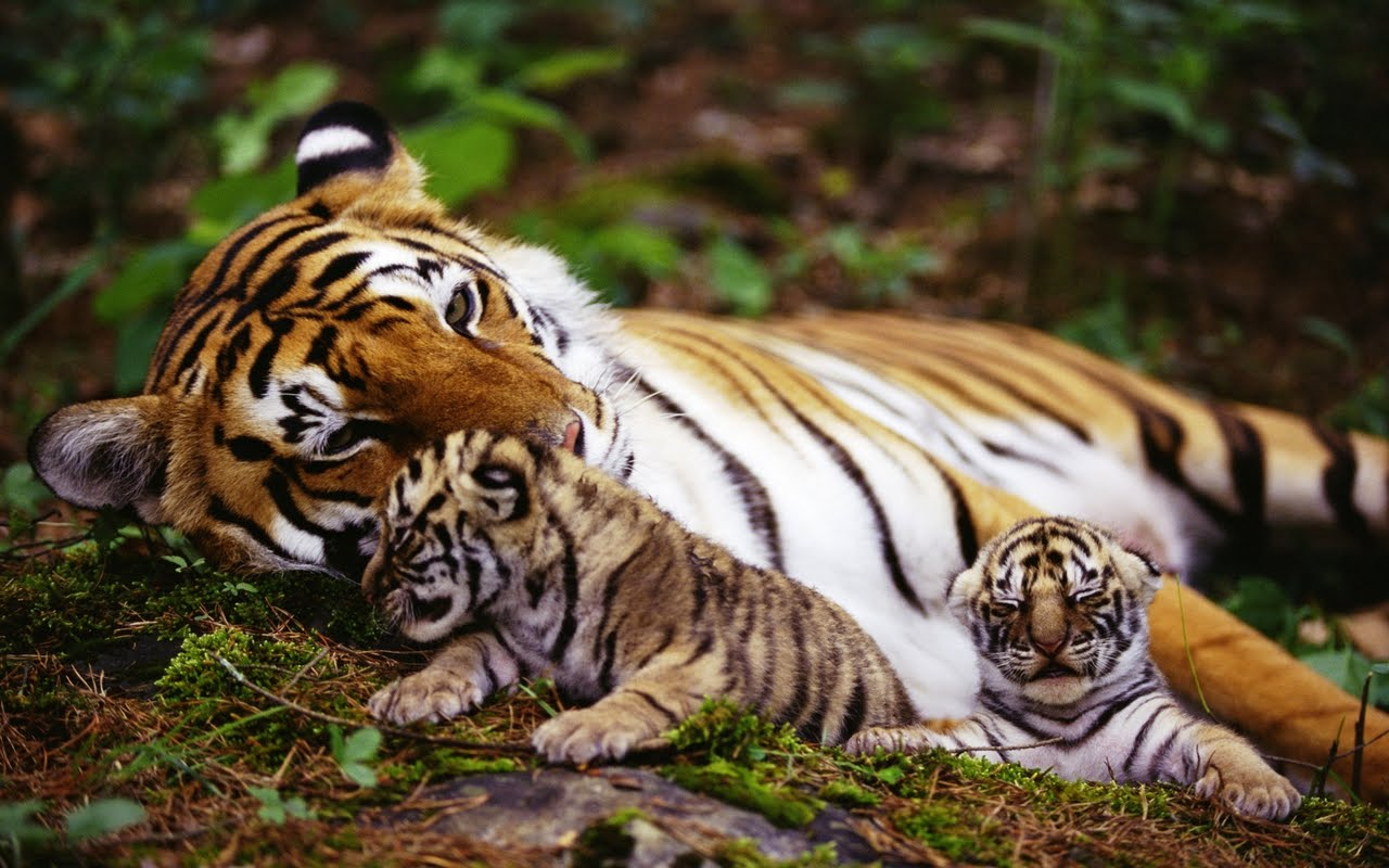 http://3.bp.blogspot.com/_Zw41kxI2akg/TT9AV31utNI/AAAAAAAADIs/hBQVYuaFuiw/s1600/mama_si_pui_tigrii.jpg