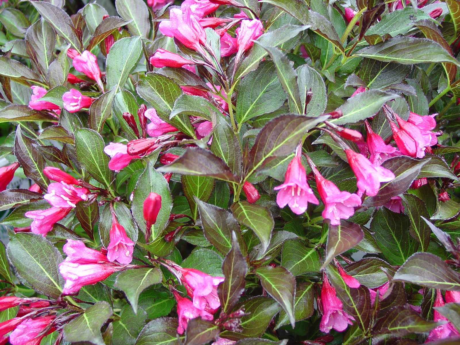 Summer Flower: Summer Flowering Shrubs