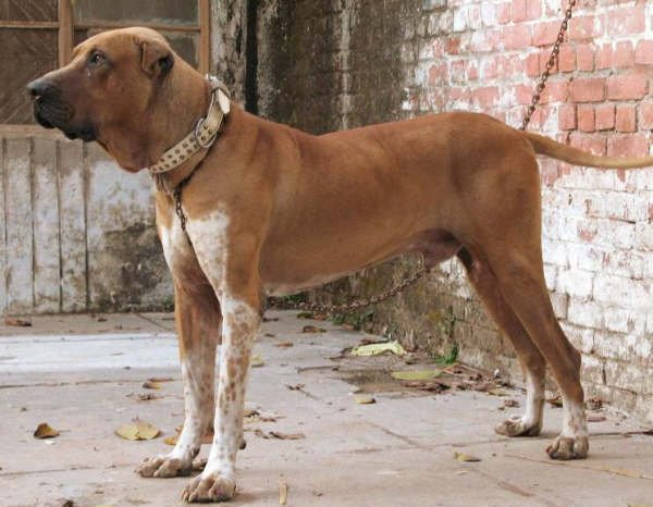 guard and fighting dogs pics: introduction to bully kutaBully Kutta