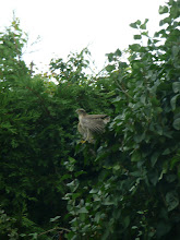 SPARROWHAWK IN THE GARDEN ...