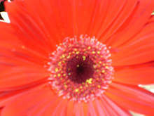 Gerber Daisy