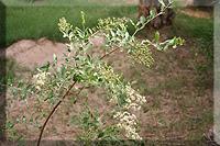 Planta de Lawsonia alba Lam. (Lawsonia inermis L.)
