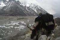 Yak over Khumbu Glacier (c) Sriharsha
