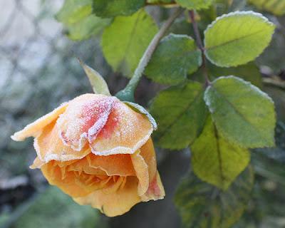 róża herbaciana i szron