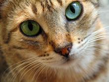 Rosestar~Leader~She-Cat