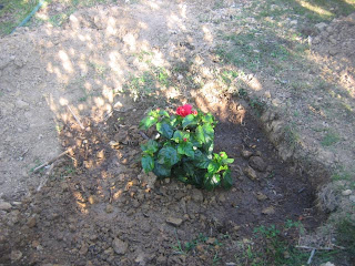 Eis o promissor hibisco vermelho!