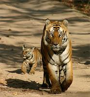 Tigre faminto