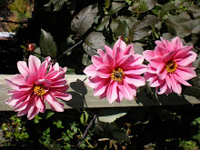 'Fascination' dahlias, summer memories