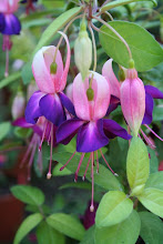 Lovely 'Party Girls' fuchsia