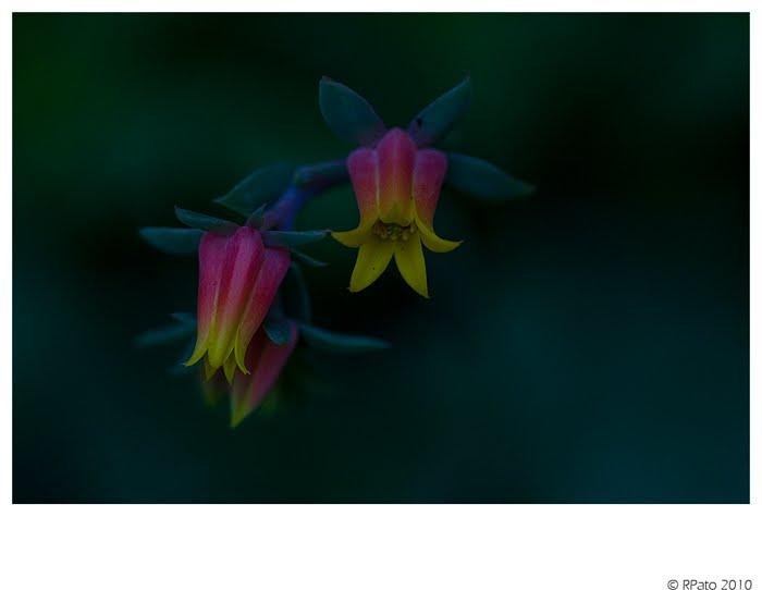 Quieres Ver Fotos De Rosas Negras? Aquí Las Tenemos  - Ver Imagenes De Flores Raras