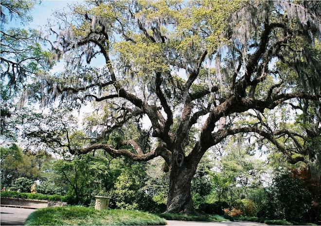 Brookgreen Oak