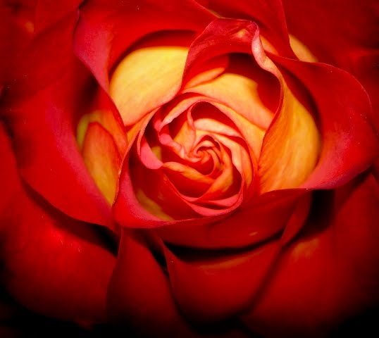Robert Downey: Wallpaper Flowers Rose