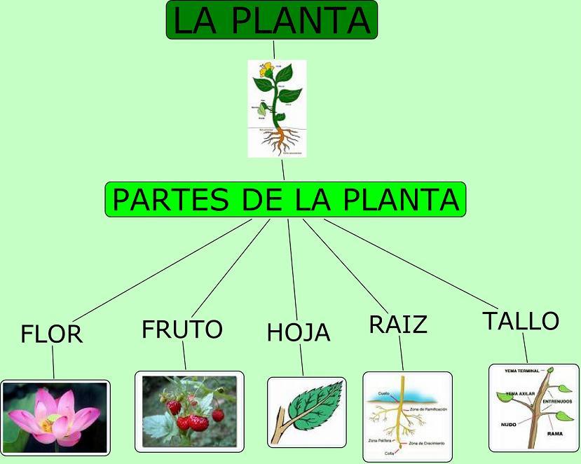 las plantas: esquema de las partes de las plantas