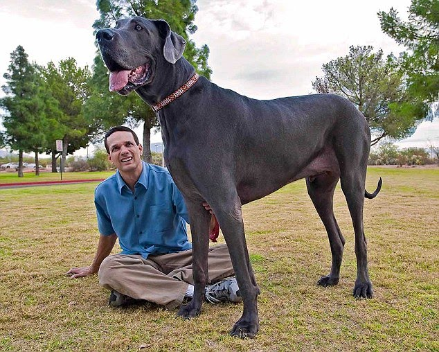 Giant George is world's tallest Dog