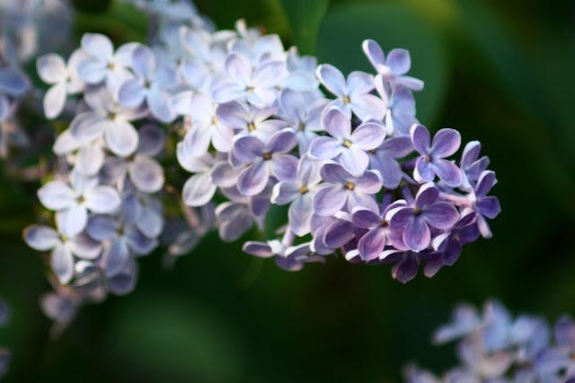 Bez, bzy, kwiaty bzu