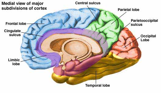 Tls journey of life chapter one part 4 improving human memory known as the outer layer of the brain stores the long term memory in many brain regions depending on the information types namely the language ccuart Images
