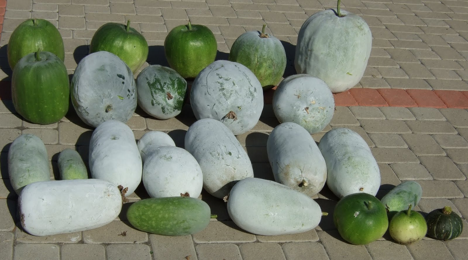 my southern california vegetable garden winter melon harvest