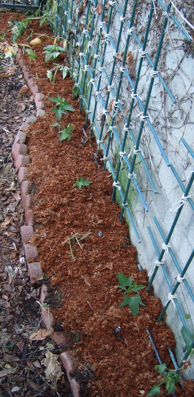 my southern california vegetable garden 2009