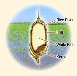 Golden Rice DiagramGolden Rice Diagram