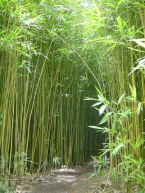 http://3.bp.blogspot.com/__C9S3urx2Dg/R1V9n7P4jkI/AAAAAAAAAXE/cv7Cr2a6PWU/s400/bambu.jpg