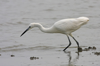 asian birds of little egret wikipedia
