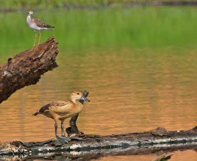 latest images of baby lesser whistling duck wiki