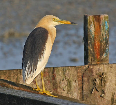 wallpapers of crane pond-heron youtube