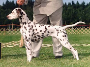 Multi group winner Top Dog Dalmatian