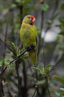 Green Beauty parrot