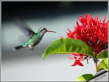 Beija - flor.         Foto: Rui Lima, Bahia BR.