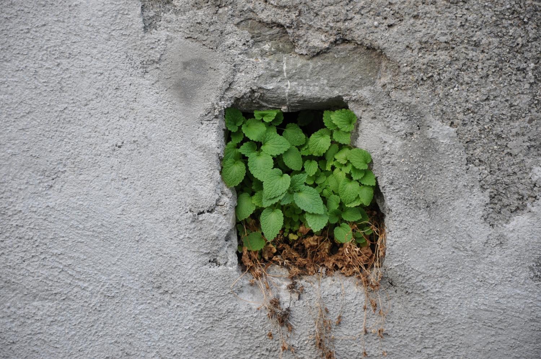 le maximum plante dans le trou d 39 un mur photo et fond d. Black Bedroom Furniture Sets. Home Design Ideas