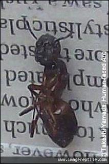 semut mirip manusia