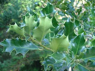 Plantas associadas ao Natal estão em risco