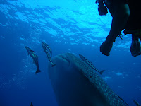 redang+whale+shark+sighting+2005.jpg