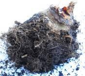 tiny begonia tuber